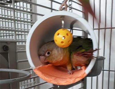 Green-Cheek-Conure-Med-sleep-tube